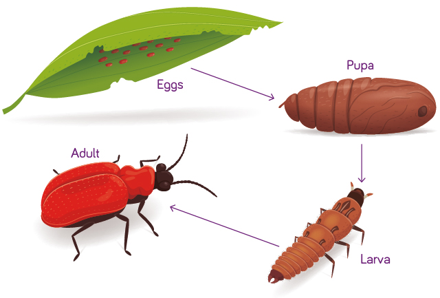 Life Cycle – The Red Lily Beetle