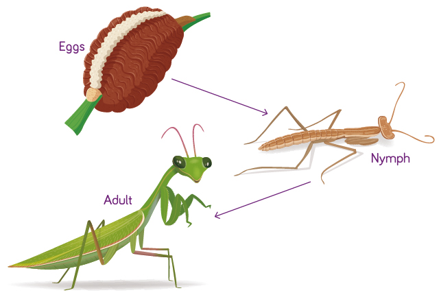 Life Cycle – Praying Mantis